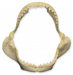 Tiger Shark Jaw: Gifts for shark lovers