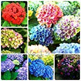 (100pcs/ bag hydrangea seeds, mixed colors, potted balcony, planting is simple, budding rate of 95%, radiation absorption Seeds)