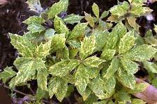 1 Osmanthus heterophyllus 'Goshiki'- Tea Olive/Variegated Holly Leaf Osmanthus ()