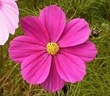 The Dirty Gardener Cosmos Bipinnatus Cosmos Wildflowers - 5 Pounds