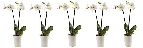 Color Orchids Live Double Stem Phalaenopsis Orchid in Ceramic, 20-24'', Assorted (5-(Pack)) by Color Orchids