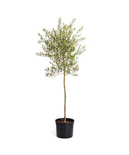 Arbequina Olive Tree 5-6 feet Tall - Get Olives 1st Year with Large Olive Trees - Indoor/Patio Live Olive Trees | No Shipping to AZ (Best Indoor Fruit Trees)