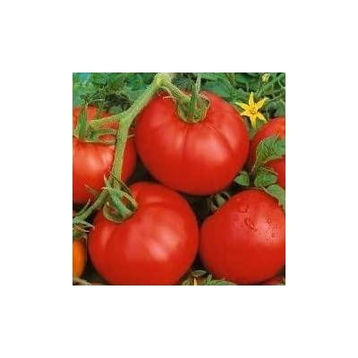 Ace 55 Tomato Seeds - 30+ Rare Non-GMO Organic Heirloom Vegetable Garden Seeds in FROZEN SEED CAPSULES for The Gardener & Rare Seeds Collector - Plant Seeds Now or Save Seeds for Years : Garden & Outdoor