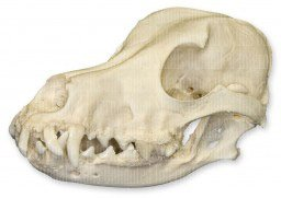 Domestic Dog Skull with Periodontal Disease (Natural Bone Quality A)