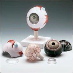 Anatomical Chart Company JS6513 Human Eye 3D Model
