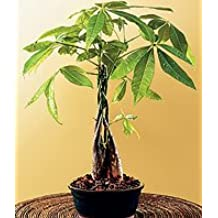 LOUSBONSAINURSERY LARGE BRAIDED MONEY TREE (INDOOR TREE)
