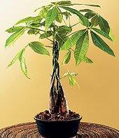 LOUSBONSAINURSERY LARGE BRAIDED MONEY TREE (INDOOR TREE) by LOU'S BONSAI  NURSERY