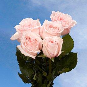 Pink Garden Roses Wholesale | 72 Ou0027Hara Garden Roses