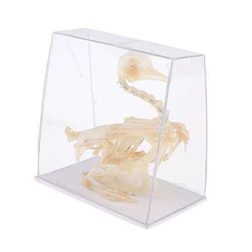 DYNWAVE 15.5x6.5x13cm Pigeon Bird Skeleton Anatomical Model Specimen, Kids Teaching and Learning Tools, Education Supplies ()