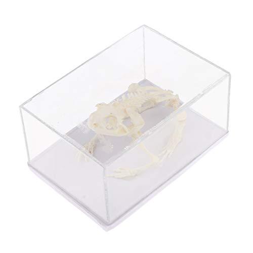 (Animal Skeleton Model - Frog Bone Specimen Sculpture with Display Case, Student Biology Science Teaching Aids)