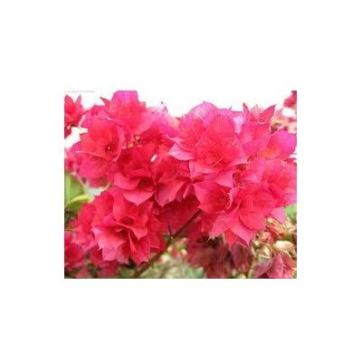 Kasuki 10pcs / Bag,Bougainvillea bonsais, Potted Bonsai, Flower Bonsai, Variety Complete, The Budding Rate 95%, (Mixed Colors) - (Color: 4): Garden & Outdoor
