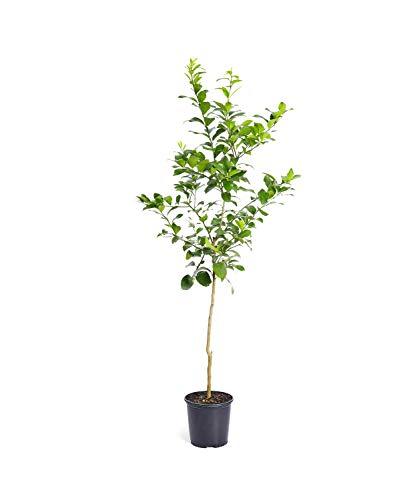 Improved Meyer Lemon Tree- Dwarf Fruit Trees - Indoor/Outdoor Live Potted Citrus Tree - 4-5 ft. - Cannot Ship to FL, CA, TX, LA or AZ