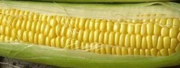 The Dirty Gardener Hybrid Bodacious Sweet Corn, 1 - Corn 1 Pound