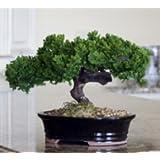 Bonsai Boy's Monterey - Single Trunk-Preserved Bonsai Tree Preserved - Not a living tree