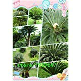 100 pieces/bag ,Cycads seeds, Cycas revoluta,potted balcony, planting is simple, budding rate of 95%