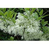 (2 Gallon Bare-Root set of TWO plants) WHITE FRINGE Tree, covers itself in many impressive, fragrant white spring blooms that give the tree an appearance of being laced with elaborate white fringe. ()