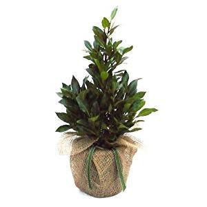AROMATIC PYRAMID BAY TREE-Stunning Living Plant Gift For Christmas & All Occasions Giftaplant 3.5 Litre