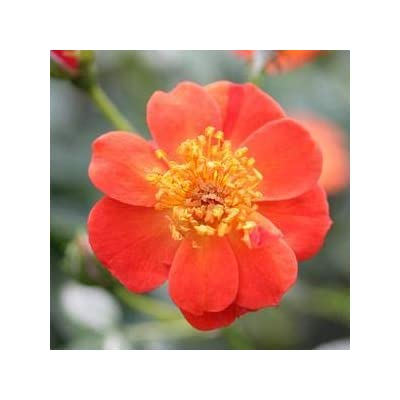 "Rosa-OSO-Easy-Hot-Paprika - 8"" Jumbo Pot (Shrub) : Garden & Outdoor"