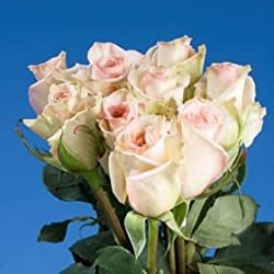 75 Fresh Cut Soft Pink Roses | Sophie Roses | Fresh Flowers Express Delivery | Perfect for Valentine's Day, Anniversary or any occasion.