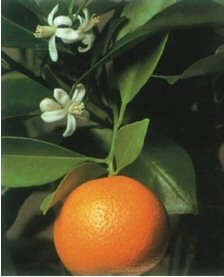 Bonsaiboy Orange Citrus Bonsai Tree Calamondin Orange by Bonsai Boy (Image #2)