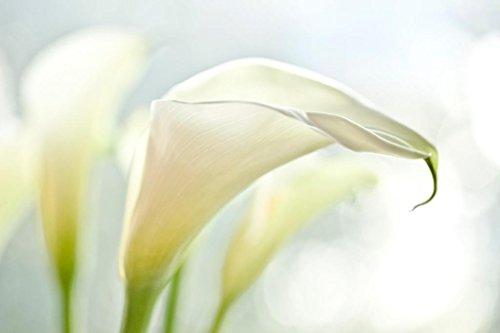 - White Calla Lilies Photo Art Print Mural Giant Poster 54x36 inch
