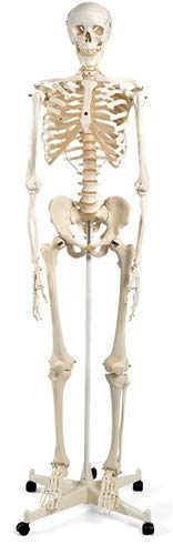 Image of Bedroom Aids & Accessories Anatomical Chart Mr. Plain Skeleton