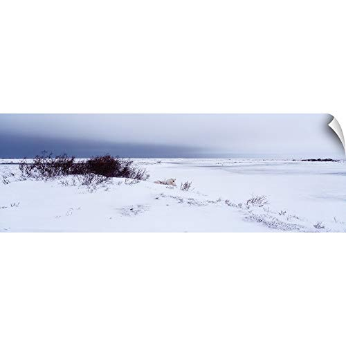 CANVAS ON DEMAND Wall Peel Wall Art Print Entitled Canada, Manitoba, View of Resting Polar Bears in The Snow ()