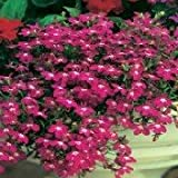 200 RED & White ROSAMOND LOBELIA Erinus Flower Seeds