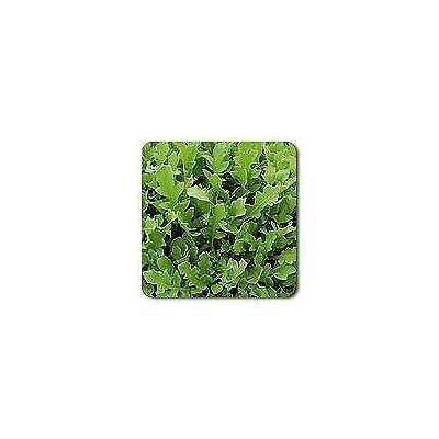 2, 000 Seeds Arugula Surrey Eruca vesicaria Sativa : Garden & Outdoor