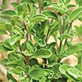 Sweet Marjoram Herb - 25 Plants - Aromatic