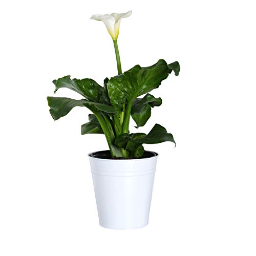 Plants by Post Gallon Calla Live Lily in White Tin Pot (Calla Lily Pot)