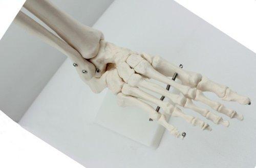 Doc.Royal Human 1:1 Size Foot Joint Bone Simulation Model Medical Anatomy