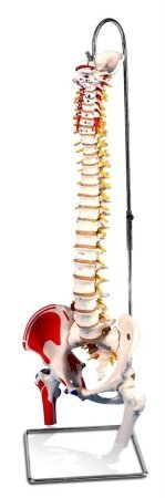 AWW A58-3 Painted Classic Flexible Spine with Femur Heads (Classic Spine Flexible)