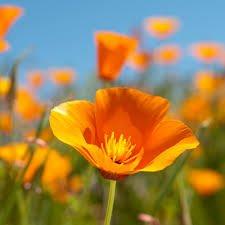 Orange California Poppy Seeds, 8 Oz, 14,000 seeds