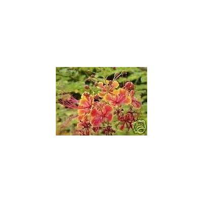 Toyensnow - Caesalpinia pulcherrima Bird of Paradise Shrub (5 Seeds) : Garden & Outdoor