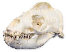 - California Sea Lion Skull (Male) (Teaching Quality Replica)
