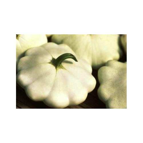 New David's Garden Seeds Squash Summer Scallop Early White DSVSQU119ER (White) 50 Heirloom Seeds hot sale
