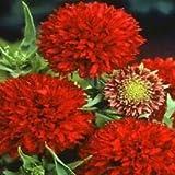 100 gaillardia Seeds pulchella Red Plume Garden Starts Nursery AIND-438