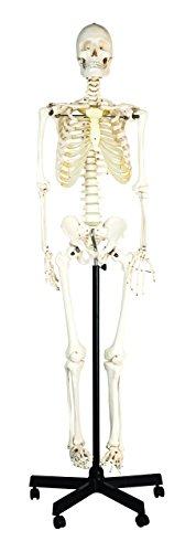 hBARSCI (HBAR62SKELETON) Articulated Life Sized Human Skeleton Model, Articulated Joints, Pelvic Mounted with Wheeled -