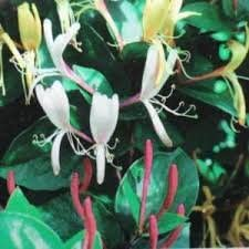 Lonicera japonica Purple Queen honeysuckle fragrant red and cream flowers 1 litre pot FREE DELIVERY