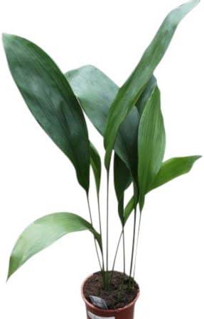 Planta de interior - Planta para la casa o la oficina - Aspidistra ...