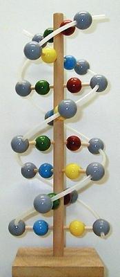 3141 Wooden Dna Molecular Kit Wooden Dna Molecular Model Case