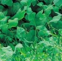 Herb Seeds - Sorrel Large French - 4000 Seeds Nuts n' Cones