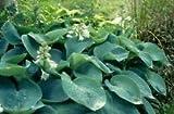Hosta Sieboldiana Elegans Huge Leaves Seeds AMND-664