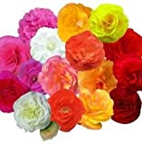 Begonia - Fortune Mixed - 25 Seeds
