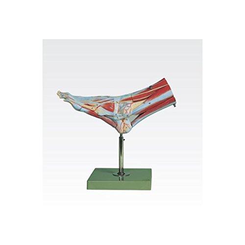 足の筋肉解剖模型/人体解剖模型 (9分解) 実物大 合成樹脂製 J-114-2   B077JMPP1F