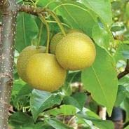 (5 Gallon Bare-Root) HOSUI Pear Tree- Fruits are Lovely Bronze-Golden-Rusted Color, Extremely Juicy, fine Grain Textured Flesh, Rich Flavor.
