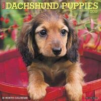 Amazoncom Quality 2019 Just Dachshund Puppies Calendar With Free