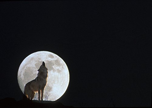 Posterazzi Wolf Howling At Full Moon/Ncaptive. Composite Poster Print (16 x 11) (Pics Of Wolves Howling At The Moon)