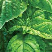 Lettuce Leaf Basil 100 Seeds -Herb - GARDEN FRESH (Basil Lettuce Leaf)